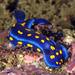 California Blue Dorid - Photo (c) Phil Garner, all rights reserved