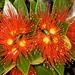 Southern Rata - Photo (c) chrismorse, all rights reserved