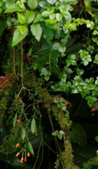 Gurania makoyana image
