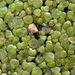 Greater Duckweed - Photo (c) Tig, all rights reserved