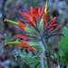 Coast Indian Paintbrush - Photo (c) jrebman, all rights reserved