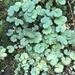 Hydrocotyle moschata - Photo (c) chrismorse, todos los derechos reservados
