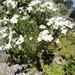 Linum monogynum monogynum - Photo (c) nzwide, todos los derechos reservados, uploaded by Phil Bendle