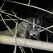 Formosan Masked Palm Civet - Photo (c) 古國順, all rights reserved