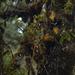 Agapetes forrestii - Photo (c) 黄秦, todos los derechos reservados