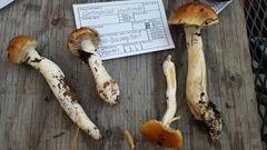 Cortinarius variosimilis image