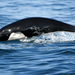 Northern Right Whale Dolphin - Photo (c) rjm284, all rights reserved