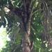 Aiphanes - Photo (c) sandragalean, todos los derechos reservados