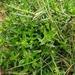 Enydra sessilifolia - Photo (c) Antoanette Alexandra Burgos Romero, all rights reserved