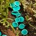 Chlorociboria - Photo (c) chrismorse, todos los derechos reservados