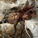 Banded Tunnelweb Spiders - Photo (c) nzwide, all rights reserved, uploaded by Phil Bendle