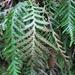Notogrammitis heterophylla - Photo (c) chrismorse, todos los derechos reservados