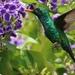 Esmeralda Oriental - Photo (c) Barbara Moreno Martinez, todos los derechos reservados