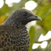 Colombian Chachalaca - Photo (c) Luis G. Restrepo, all rights reserved, uploaded by Luis G Restrepo