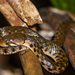 Chequered Keelback - Photo (c) Hari, some rights reserved (CC BY-NC-ND)