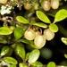 Coprosma pedicellata - Photo (c) chrismorse, all rights reserved