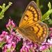 Lycaena rauparaha - Photo (c) chrismorse, todos los derechos reservados