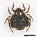Phoroncidia ryukyuensis - Photo (c) kunag-ping_yu, todos los derechos reservados
