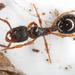 Myrmecina graminicola - Photo (c) gernotkunz, todos los derechos reservados