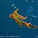Robson's Blanket Octopus - Photo (c) nzwide, all rights reserved, uploaded by Phil Bendle