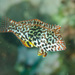 Leopard Wrasse - Photo (c) Ian Shaw, all rights reserved