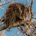Puercoespín Norteamericano - Photo (c) Jay Bird, todos los derechos reservados