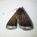 Coremagnatha orionalis - Photo (c) Kimberlie Sasan, some rights reserved (CC BY-ND)