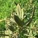 Salvia fruticosa - Photo (c) selin çağlayan, kaikki oikeudet pidätetään