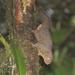 Microsciurus - Photo (c) Chris Benesh, כל הזכויות שמורות