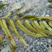 Blechnum montanum - Photo (c) nzwide, todos los derechos reservados, uploaded by Phil Bendle