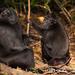 Macaco Negro - Photo (c) Joe Tomoleoni, todos los derechos reservados