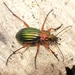 Carabus auronitens - Photo (c) Rui Andrade, all rights reserved