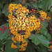 Velvet Groundsel - Photo (c) nzwide, all rights reserved, uploaded by Phil Bendle
