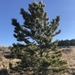 Pinus ponderosa scopulorum - Photo (c) Jared Shorma, όλα τα δικαιώματα διατηρούνται