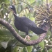 Wattled Guan - Photo (c) randyvickers, all rights reserved