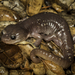Salamandra Arborícola - Photo (c) Alice Abela, todos los derechos reservados