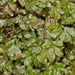 Hymenophyllum minimum - Photo (c) chrismorse, all rights reserved