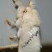 Anaxidia lactea - Photo (c) kimba882, all rights reserved