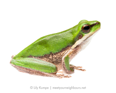 Eastern Dwarf Tree Frog - Photo (c) Lily Kumpe, all rights reserved
