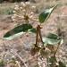 Abronia elliptica - Photo (c) Daniel Leavitt, todos los derechos reservados