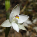 Common Sun Orchid - Photo (c) nzwide, all rights reserved, uploaded by Phil Bendle