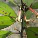 Alseuosmia pusilla - Photo (c) savvy, all rights reserved, uploaded by Nick Saville