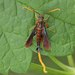 Clematis Clearwing Moth - Photo (c) David Beadle, all rights reserved, uploaded by dbeadle