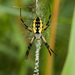 Yellow Garden Spider - Photo (c) Gordon Dietzman, all rights reserved
