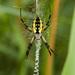 Araña Amarilla de Jardín - Photo (c) Gordon Dietzman, todos los derechos reservados