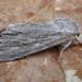 Acronicta lanceolaria - Photo (c) David Beadle, todos los derechos reservados, uploaded by dbeadle