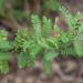 Dalea phleoides microphylla - Photo (c) Eric Hunt, todos los derechos reservados