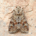 Bordered Apamea Moth - Photo (c) Michael King, all rights reserved