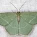 Chlorissa cloraria - Photo (c) gernotkunz, todos los derechos reservados