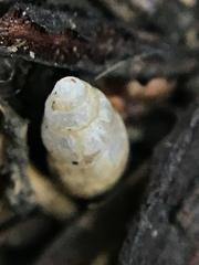 Cochlicopa lubrica image